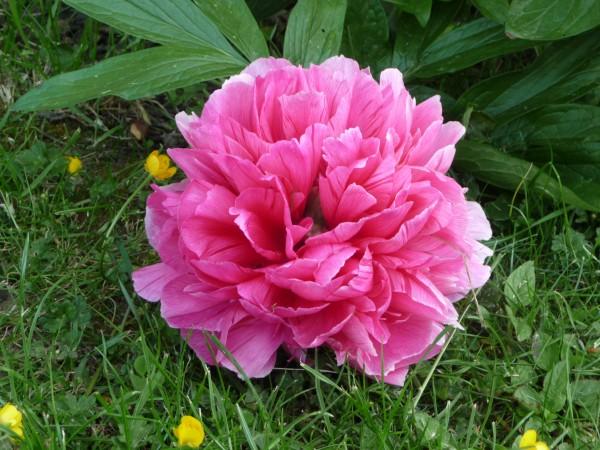 grande pivoine rose soutenu jardin